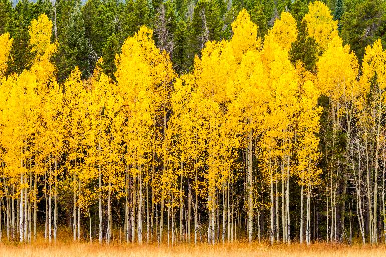 aspen trees from a distance
